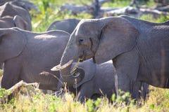 Group of large elephants eating in Serengeti Royalty Free Stock Images