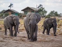 Group of large elephants walking between safari tents at lodge, Botswana, Africa Royalty Free Stock Photos
