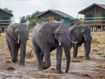 Group of large elephants walking between safari tents at lodge, Botswana, Africa Royalty Free Stock Images