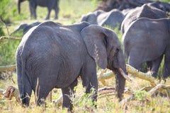 Group of large elephants walking in Serengeti Stock Photos