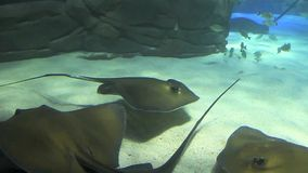A Group of Large Manta Rays stock video footage
