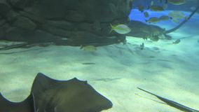A Group of Large Manta Rays swims by stock video