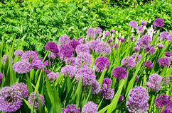 Group of large purple Alliums Royalty Free Stock Image