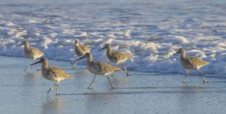 A group of large sandpipers walk along surf`s edge in California. Several large shorebirds, likely a type of sandpiper, walk along the beach, staying out of royalty free stock photo