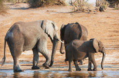 Group of Large and small African elephants Stock Photo