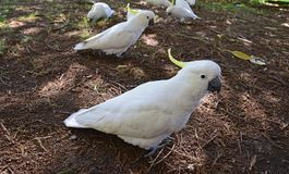 A group of large wild sulphur crested Cockatoo at Sydney royal botanic garden stock images