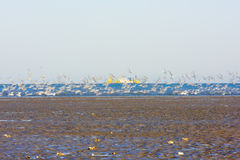 A group of Larus relictus foraging playing on the beach, is taking off Royalty Free Stock Photo