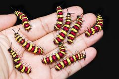 Group of last instar Leopard Lacewing Cethosia cyane caterpill. Ars on human hand royalty free stock image