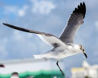 Group of Laughing gull Seagull in south Florida Miami beach royalty free stock photos