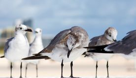 Group of Laughing gull Seagull in south Florida Miami beach stock image