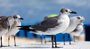 Group of Laughing gull Seagull in south Florida Miami beach Stock Photo