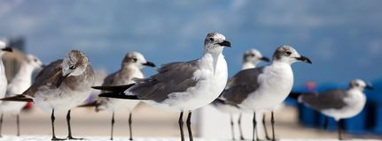 Group of Laughing gull Seagull in south Florida Miami beach Royalty Free Stock Photography