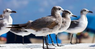 Group of Laughing gull Seagull in south Florida Miami beach stock photos