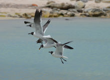 Group of Laughing Gulls Flying Over Baby Beach Stock Photo