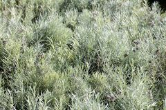 Group of lavender plants with perennial grey green leaves. Group of lavender plants with grey green leaves for small textured foliage for aromatic perennial stock photo