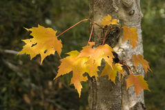 Group of Leaves. Group of sun dappled yellow maple leaves on a tree near the Blue Ridge Parkway Stock Images