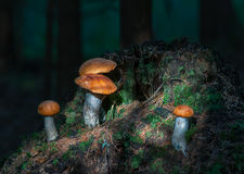 Group of Leccinum aurantiacum  growing in forest. Stock Image