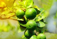 Group of lemon on branch tree with blurred background. Orange light from the photo editor stock photo
