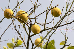 Group of  lemons on the branches. Group of yellow lemons on the branches Royalty Free Stock Image