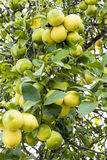 Group of lemons on the tree Stock Photography