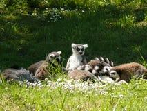 Group of a lemur Maki-catta Stock Photo