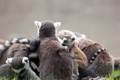 Group of lemurs  Stock Image