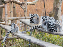 Group of lemurs Royalty Free Stock Photography