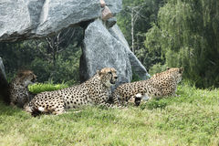Group of Leopard. Group of three leopard in a safari park Royalty Free Stock Photography