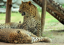 Group of Leopard resting and sleeping Royalty Free Stock Photography