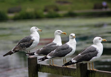 A Group of Lesser Black Backed Gulls Stock Photography