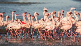Group of lesser flamingos Phoeniconaias minor Royalty Free Stock Images