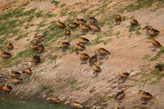 Group of lesser whistling duck stock photography