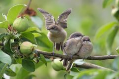 Group of Lesser whitethroats makins wing stretching royalty free stock photo