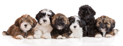 Group of lhasa apso puppies on white Royalty Free Stock Photo
