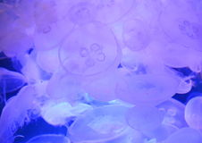Group of light blue jellyfish Royalty Free Stock Photos