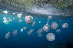 Group of light blue jellyfish Royalty Free Stock Photography