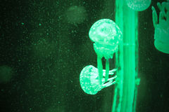 Group of light green  jellyfish Stock Photo