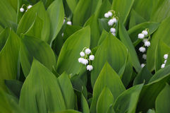 Group of lilly of the valley flowers. The close up view of the lilly of the valley flowers, surrounded by green leaves Stock Photography