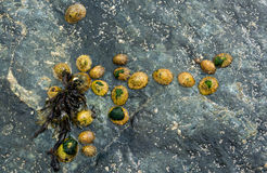 Group of Limpets at Low Tide Royalty Free Stock Images