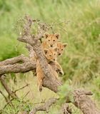 A group of lion cubs. Hanging out in a tree in the Serengeti National Park, Tanzania Royalty Free Stock Photography