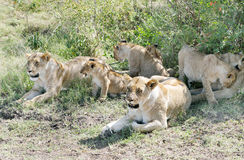 A group of lion resting near a bush of Masai Mara grassland Stock Photos
