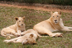 Group of lioness Stock Photography
