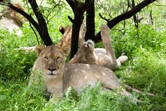 Group of lions Royalty Free Stock Photography