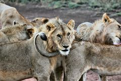 Group of Lions Stock Photo