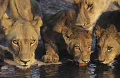 Group of Lions drinking at waterhole close-up Royalty Free Stock Image