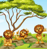 A group of lions. Illustration of a group of lions vector illustration