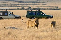 A group of lions. Including male and female are resting on the grassland in the morning. Their fur is bright brown in the morning sunshine. There are two jeeps royalty free stock photography