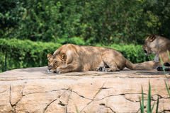 Group of lions Stock Photos