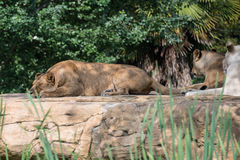 Group of lions Stock Images