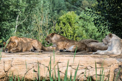 Group of lions resting on a rock Stock Photo
